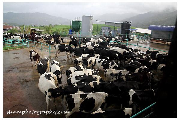 masilau-cow-farm-kinabalu-sabah-shamptohography