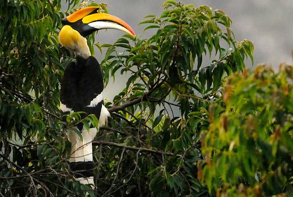 royal-belum-bird-expedition-tasik-temenggor-burung-enggang-hornbill-10-spesies-hornbill-royal-belum-persatuan-pencinta-alam-malaysia-mns-malaysia-nature-society-eshamzhalim-great-hornbill