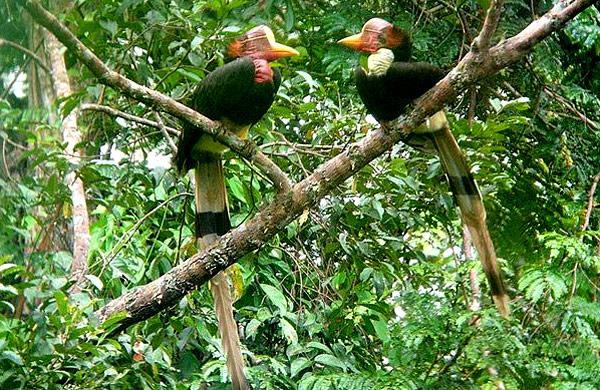royal-belum-bird-expedition-tasik-temenggor-burung-enggang-hornbill-10-spesies-hornbill-royal-belum-persatuan-pencinta-alam-malaysia-mns-malaysia-nature-society-eshamzhalim-helmeted-hornbill