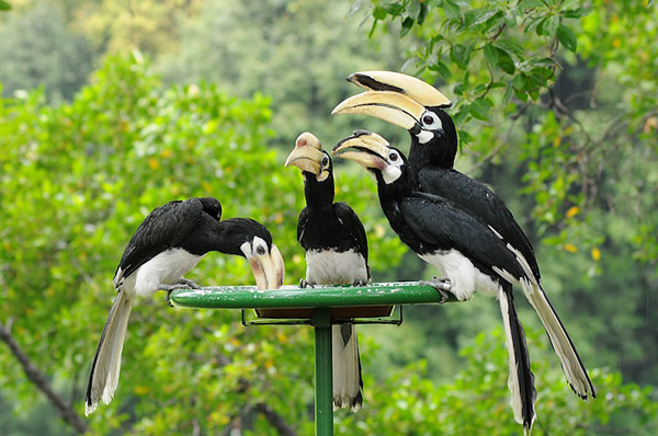 royal-belum-bird-expedition-tasik-temenggor-burung-enggang-hornbill-10-spesies-hornbill-royal-belum-persatuan-pencinta-alam-malaysia-mns-malaysia-nature-society-eshamzhalim-oriental-pied-hornbill