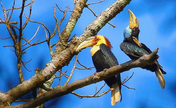 royal-belum-bird-expedition-tasik-temenggor-burung-enggang-hornbill-10-spesies-hornbill-royal-belum-persatuan-pencinta-alam-malaysia-mns-malaysia-nature-society-eshamzhalim-plain-pouched-hornbill