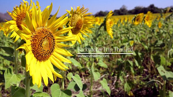 backpacker-trip-thailand-bangkok-hatyai-sunflower-farm-bunga-matahari-lopburi-the-monkey-city-visit-thailand-eshamzhalim